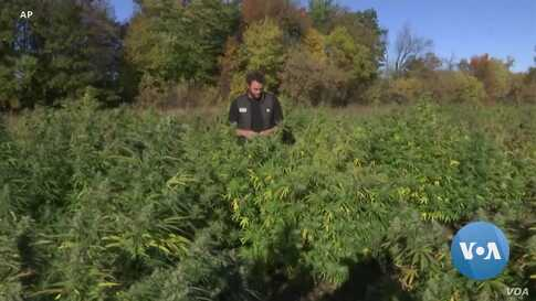 American Farmers Embrace Hemp after Legalization