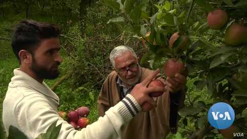 A Bumper Crop of Apples in Kashmir Rotting Away