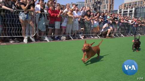 Dozens Of DC Dachshunds Race to Win Fastest Wiener Dog Title