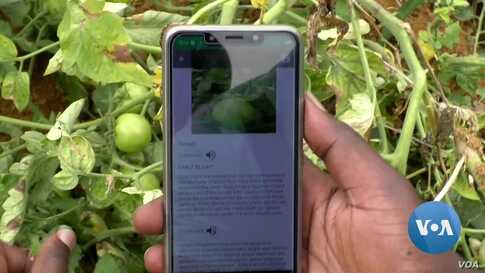App Helps African Farmers Detect Crop Disease