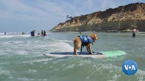 Adventure-Loving Dogs Learn to Surf in California