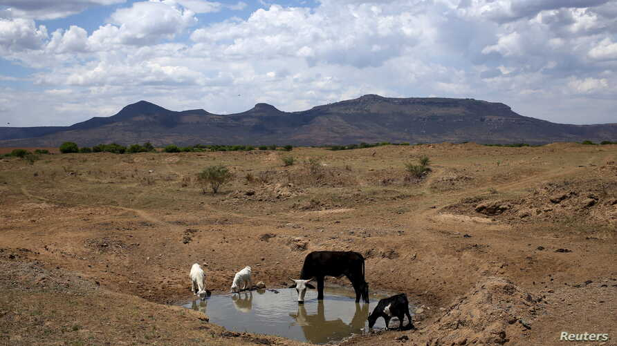 Livestock drink from a drying river outside Utrecht, a small town in the northwest of KwaZulu-Natal, South Africa, Nov. 8, 2015.