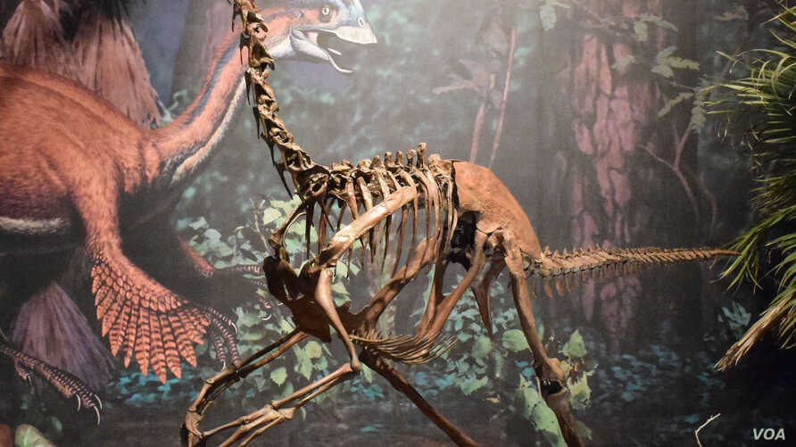 """This new dinosaur, dubbed the """"chicken from Hell,"""" was a contemporary of the more famous T. rex.  Three well-preserved partial Anzu wyliei skeletons were discovered in North and South Dakota, in the Hell Creek Formation.  The bird-like dinosaur stood"""