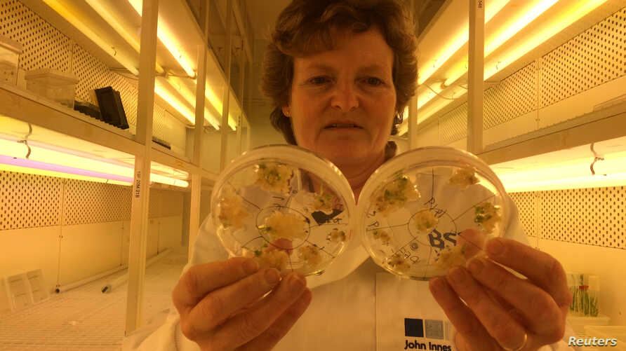 FILE - Professor Wendy Harwood poses for a photograph in a plant breeding incubator room with barley plants that have undergone gene editing at the John Innes Centre in Norwich, Britain.