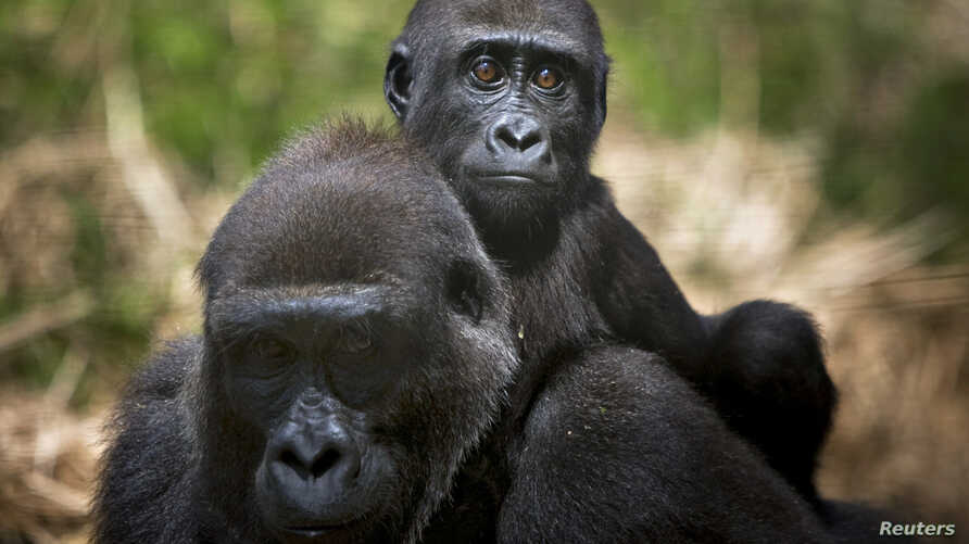 A baby lowland gorilla rides on his mother's back at the primate sanctuary run by the Cameroon Wildlife Aid Fund in Mefou National Park, just outside the capital Yaounde, March 21, 2009.  During the women's Africa Cup of Nations football tournament