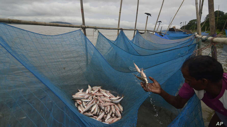FILE - A fisherman collects small fish caught with mosquito nets in the Brahmaputra River, in Gauhati, India, Aug. 5, 2013.