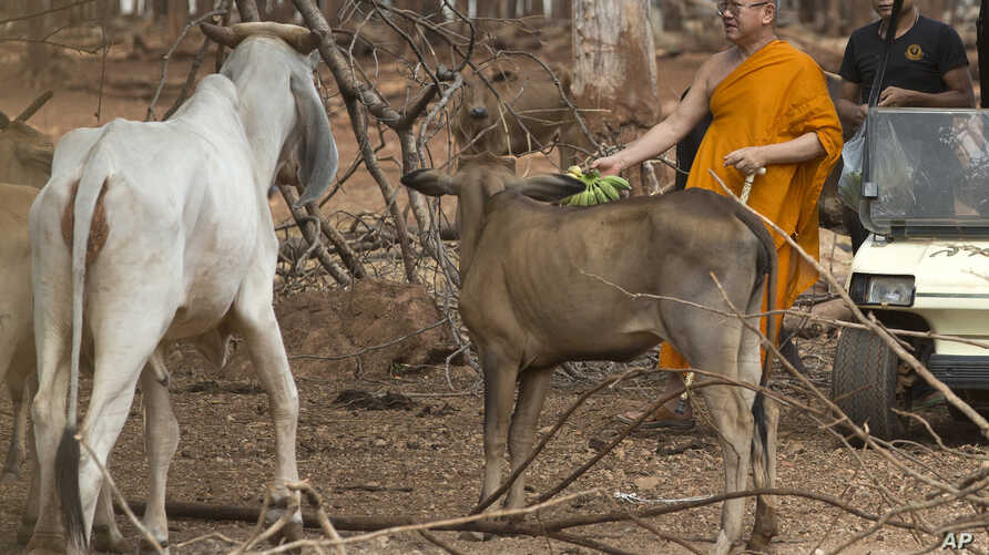 """Abbot of the """"Tiger Temple"""" Phra Wisutthi Sarathera also known as Luang Ta Chan, prepares to feed animals at their zoo in Saiyok district, Kanchanaburi province, west of Bangkok, Thailand, June 9, 2016."""