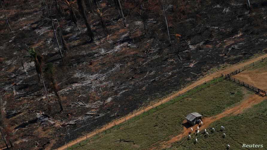 FILE -- Cows graze on deforested Amazon rainforest next to another tract recently cleared and burned near the city of Novo Progresso, Brazil, in 2013.