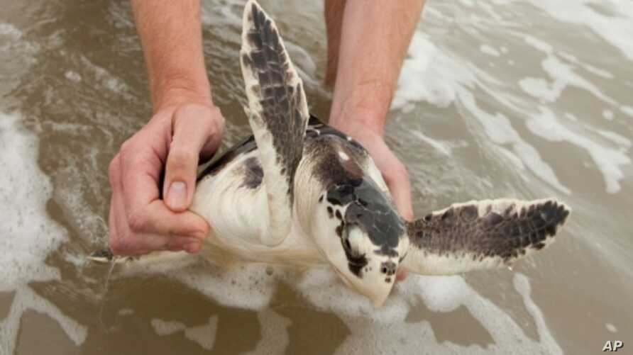 'Turtle: The Incredible Journey,' is a film about the migratory cycle of loggerhead turtles, a process many don't survive.