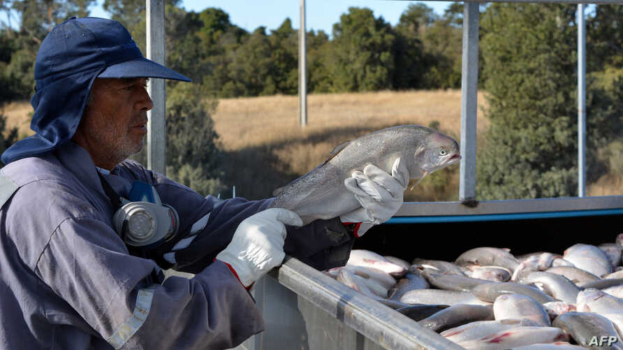 A worker holds a salmon as the fish are loaded onto a truck at the Fiordo Austral (Southern Fjord) company in Calbuco, near Puerto Montt, Chile on March 5, 2016.