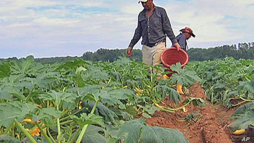 Most of the one million farm workers in America are immigrants, up to a half are thought to be in the United States illegally.