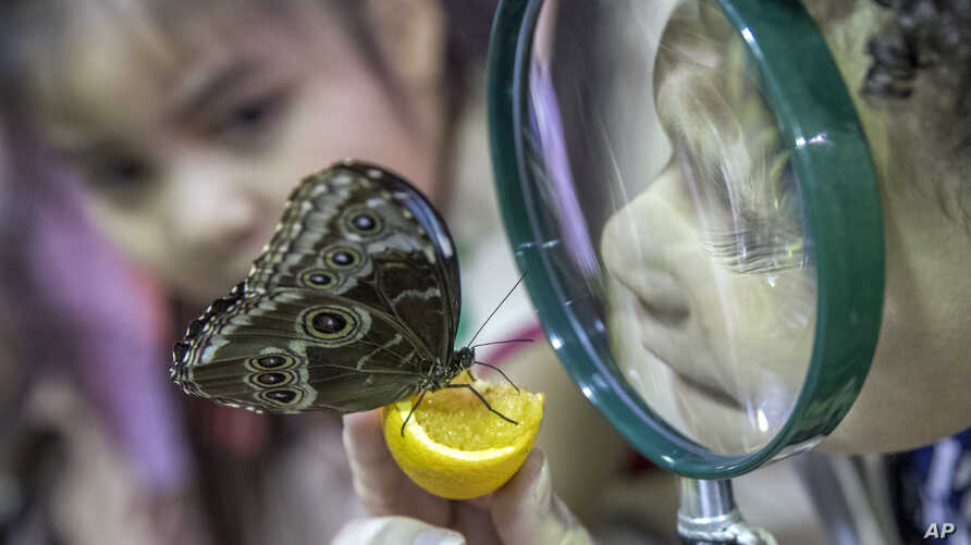 FILE - Children inspect a Blue Morpho butterfly at the American Museum of Natural History in New York, Oct. 3, 2018. Little is known about acute flaccid myelitis, but it is known that more than 90 percent of the confirmed cases are in children 18 yea
