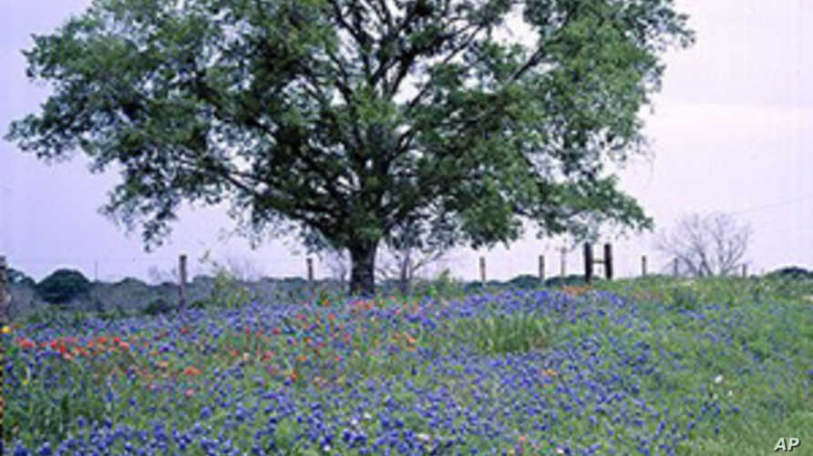 A typical Texas Hill country spring scene, in which wildflowers add some color to the otherwise drab countryside.
