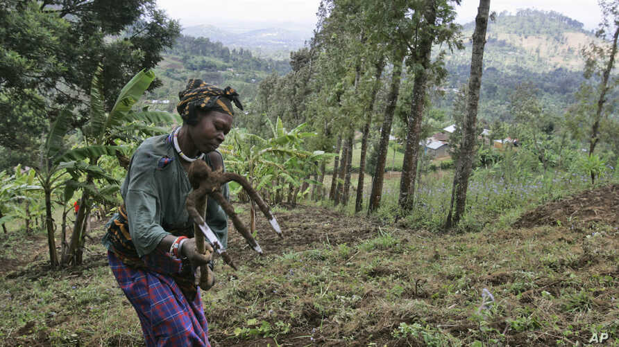 FILE - A woman works in a farm field field in Ngiresi, near the Tanzanian town of Arusha.
