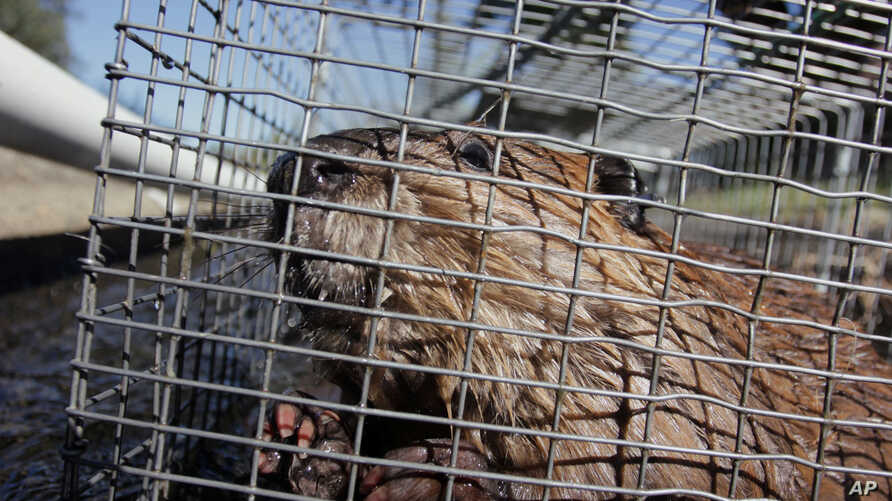 FILE - The trapping and transplanting of beavers still happens today, but in less dramatic fashion, usually in contraptions like this.