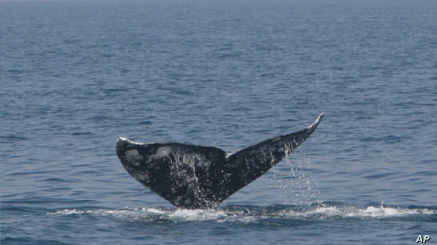 This Pacific gray whale, spotted off the coast of Israel in 2010, most likely was able to migrate into the Mediterranean as the result of the shrinking of Arctic sea ice due to climate change.