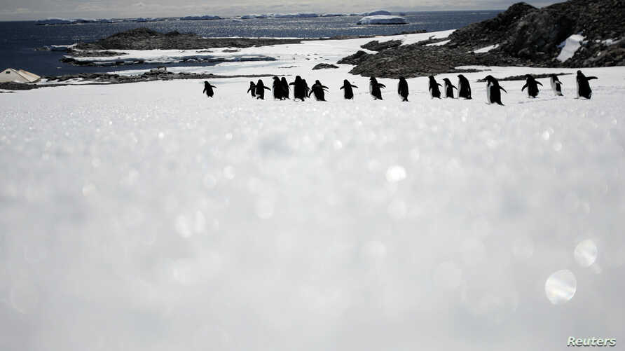 FILE - Adelie penguins walk along ice at Cape Denison, Commonwealth Bay, East Antarctica, in this picture taken Dec.  31, 2009.