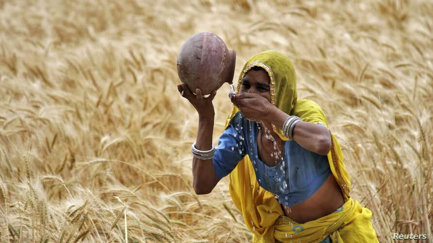 FILE - A female farmer drinks water from an earthen pot in a wheat field on the outskirts of Ajmer in the desert Indian state of Rajasthan, April 4, 2015.