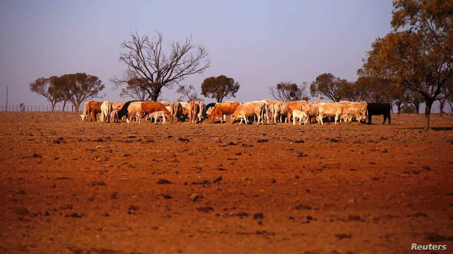 The remaining cattle on farmer May McKeown's drought-affected property, located on the outskirts of the northwestern New South Wales town of Walgett in Australia, eat hay, July 20, 2018.