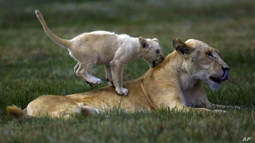 A young lion cub plays with a female lion at the Lion Park outside Johannesburg, South Africa, Feb. 4, 2015.