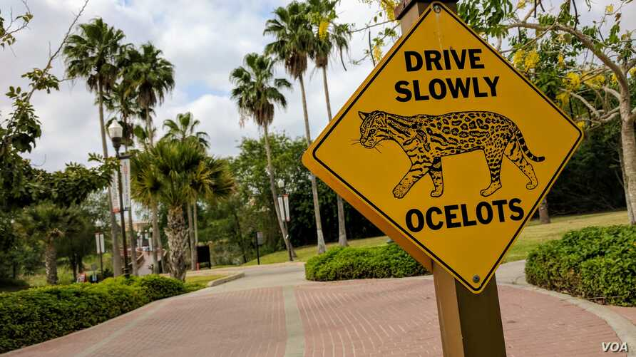 At the University of Texas Rio Grande Valley, in Brownsville, Texas, a crossing sign featuring the ocelot — a former school mascot — remains on campus. However, you are unlikely to spot one anywhere int he country. Biologists have estimated there are