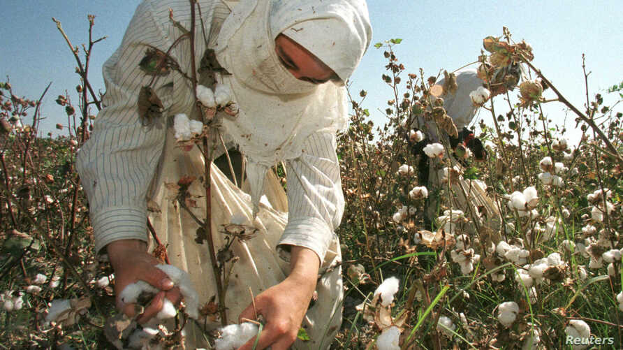 FILE - An Uzbek woman picks up cotton in a field outside Tashkent.