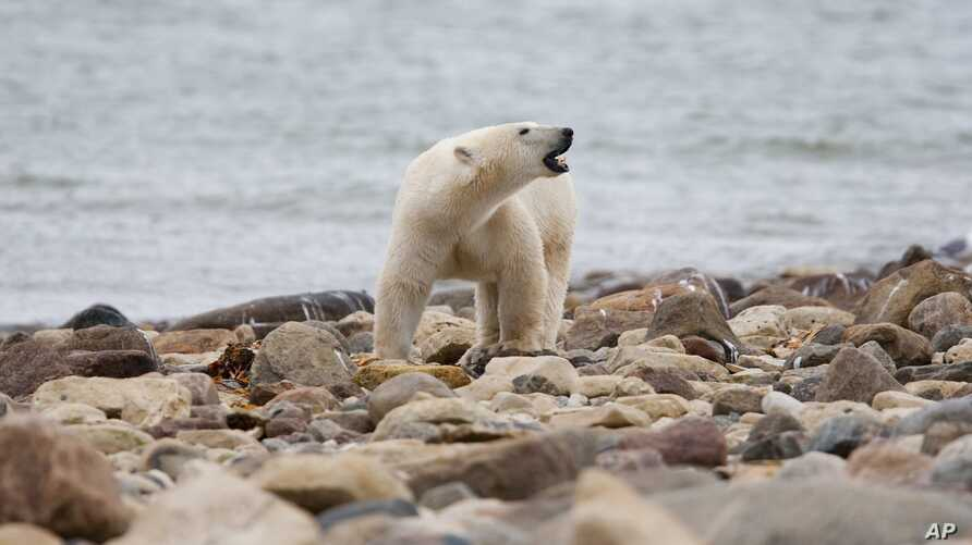 FILE - A male polar bear walks along the shore of Hudson Bay near Churchill, Manitoba, Aug. 23, 2010.