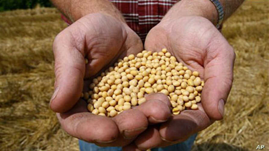 A farmer holds Roundup Ready Soy Bean seeds at his family farm in Bunceton, Minnesota (File)
