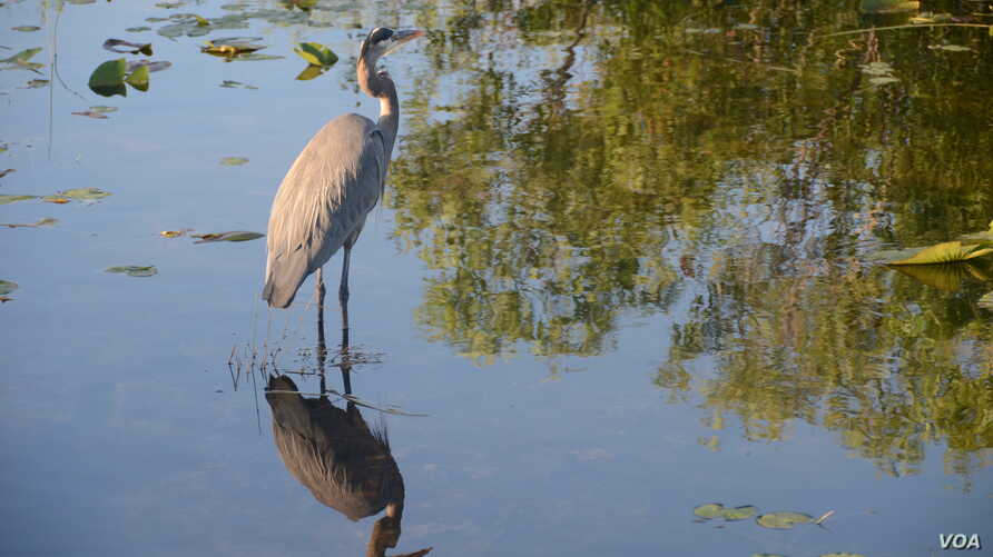 The great blue heron is the largest heron in North America, and very common in the Everglades.