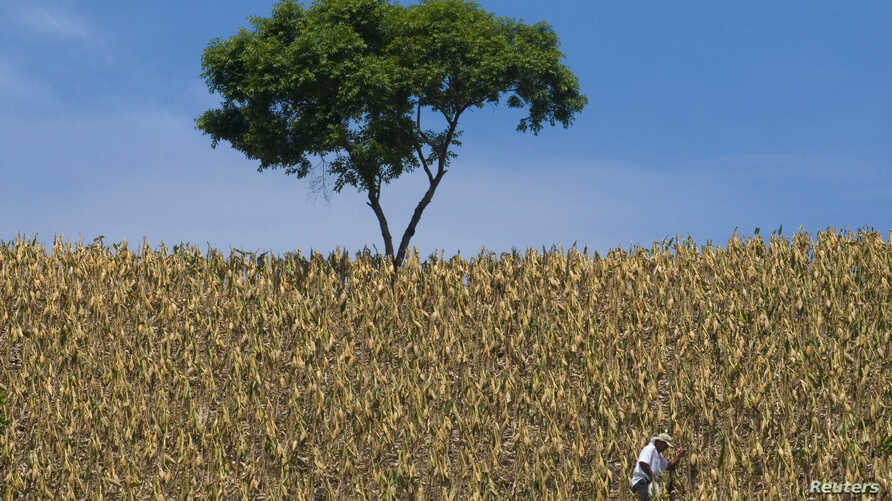 FILE - A farmer works at a corn field in Santa Ana, 46 km (28.6 miles) east of San Salvador, Aug. 28, 2009.