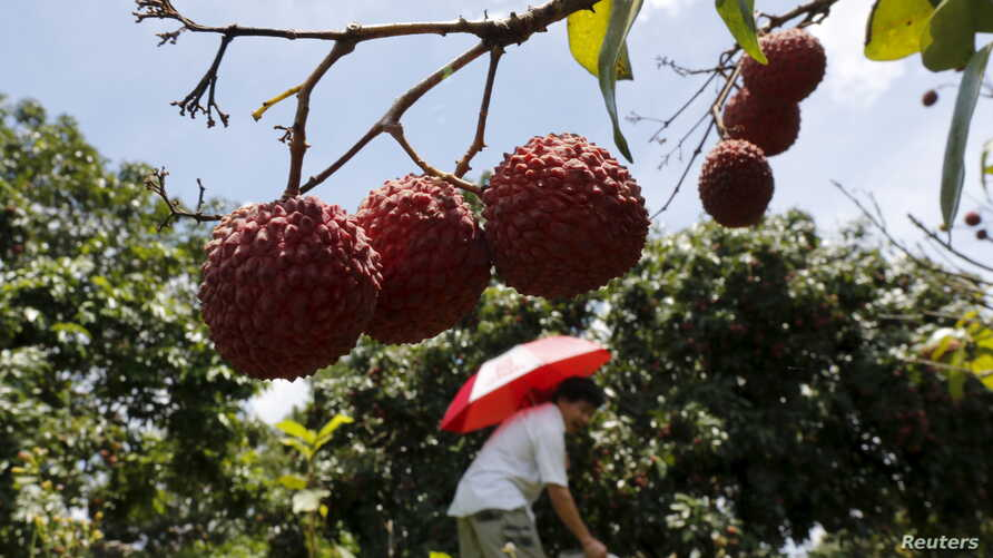 FILE - A man picks lychees from a tree at a farm on the outskirts of Yulin, Guangxi Autonomous Region, June 21, 2015.