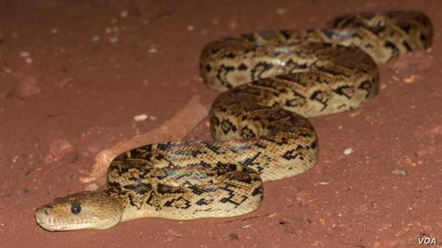 A new study suggests the Cuban boa hunts in groups. (Vladimir Dinets)