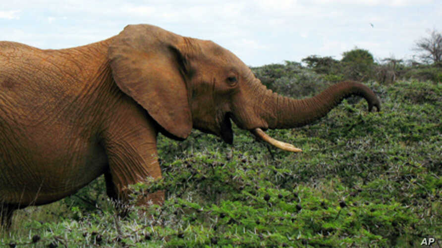 An elephant sniffing Acacia Drepanolobium is driven away by swarming ants.