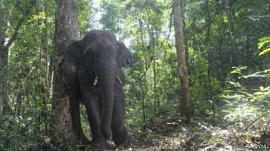 Elephants play an important role in seed dispersal for a large-fruited tree in the forests of Thailand. (Credit: Kulpat Saralamba)