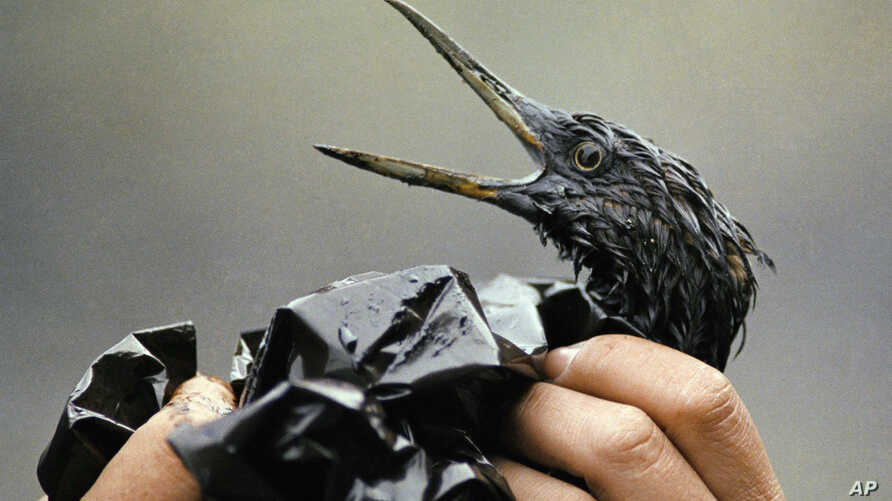 FILE - An oil covered bird is examined on an island in Prince William Sound, Alaska, in April 1989. A massive oil-slick resulted after the tanker Exxon Valdez ran aground about 25 miles from Valdez, Alaska.  An oil covered bird is examined on an isla