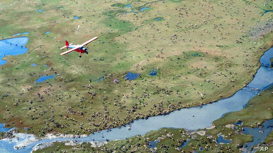 FILE - In this undated file photo provided by the U.S. Fish and Wildlife Service, an airplane flies over caribou from the Porcupine Caribou Herd on the coastal plain of the Arctic National Wildlife Refuge in northeast Alaska. The Interior Department
