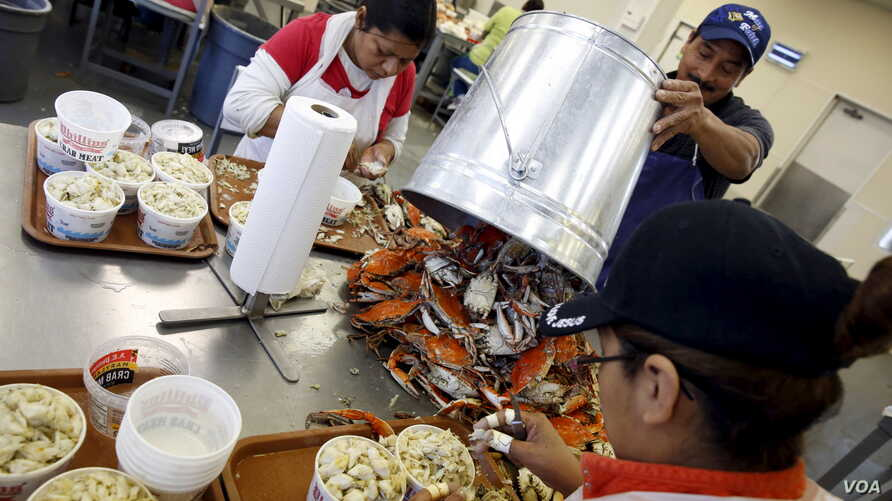 Mexican workers, on the U.S. H2B visa program for seasonal guest workers, process crabs at the A.E. Phillips & Son Inc. crab picking house on Hooper's Island in Fishing Creek, Maryland, Aug. 26, 2015.