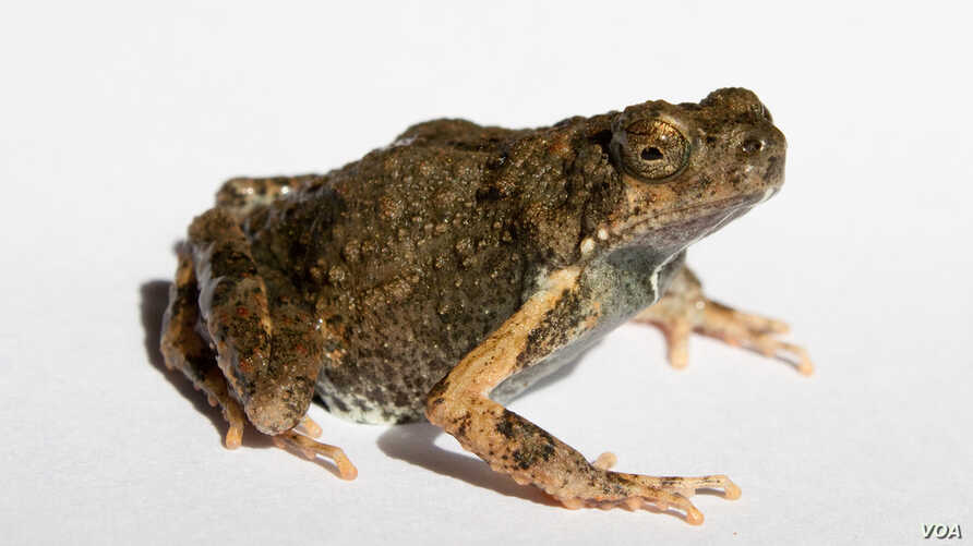 Croak to Croon: City Frogs Sing More Alluring Love Songs | Voice of