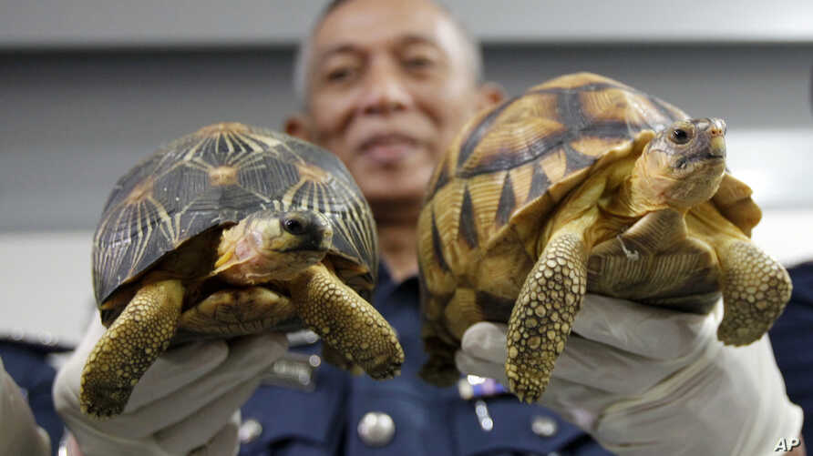 Deputy Customs Director, Abdul Wahid Sulong shows off seized Ploughshare, right and Indian Star, left, tortoise after a press conference at Customs office in Sepang, Malaysia, Malaysia, May 15, 2017.