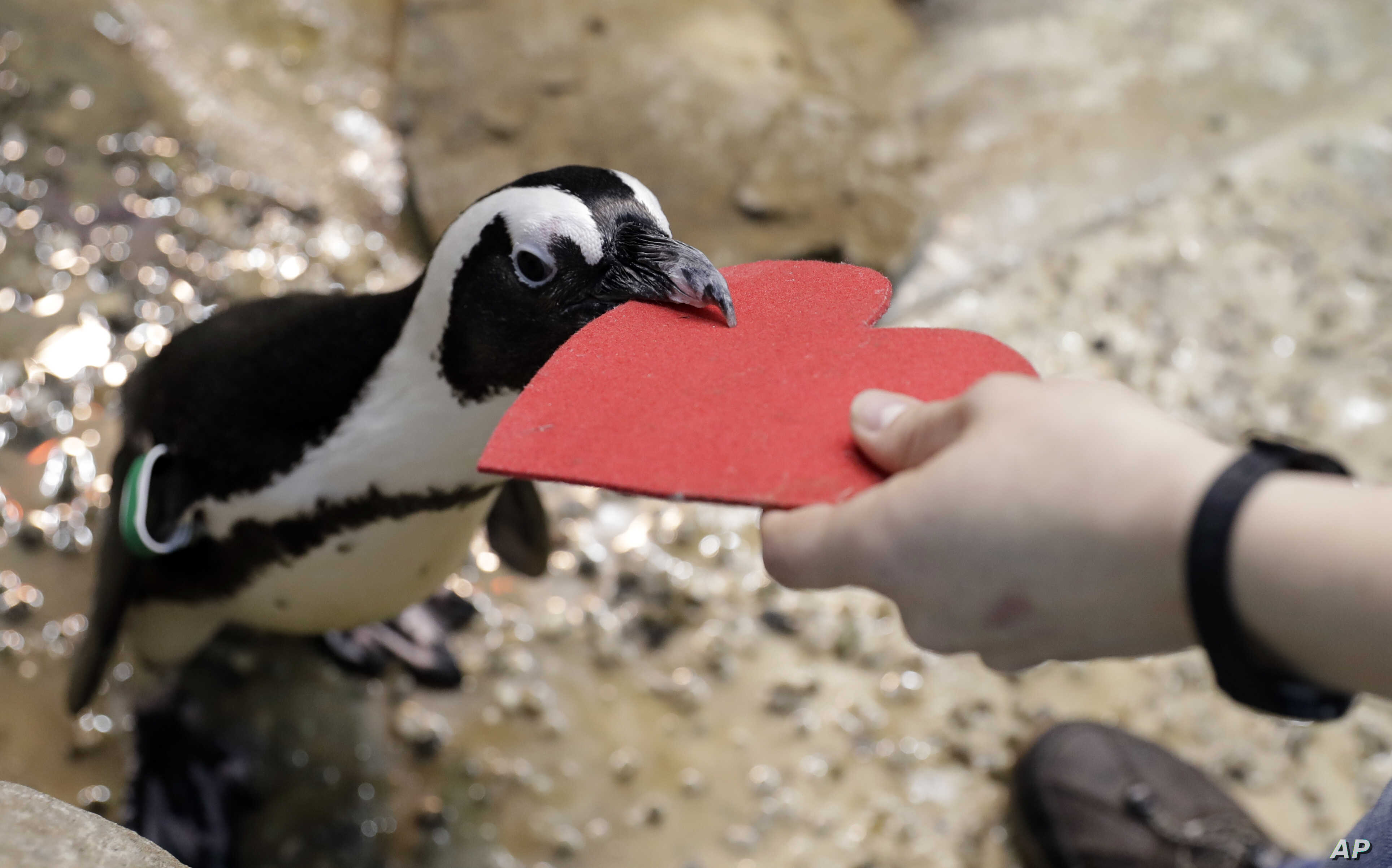 A penguin gets a heart-shaped nesting material from biologist Spencer Rennerfeldt at the California Academy of Sciences, Feb. 13, 2018, in San Francisco.