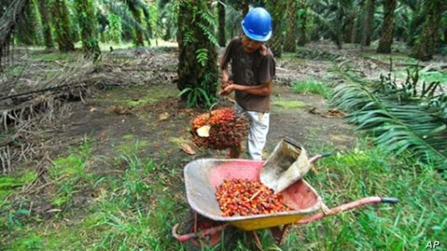 Aa worker collects harvested palm oil fruits at a plantation in Pangkalan Bun in Central Kalimantan, Indonesia, 19 Feb. 2010