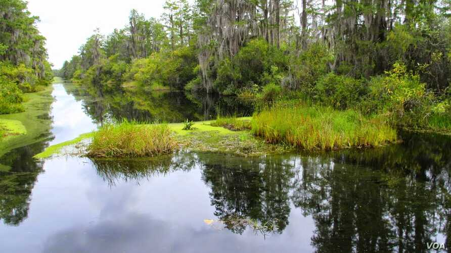 The Okefenokee is the largest, intact, un-fragmented, freshwater and black water wilderness swamp in North America.