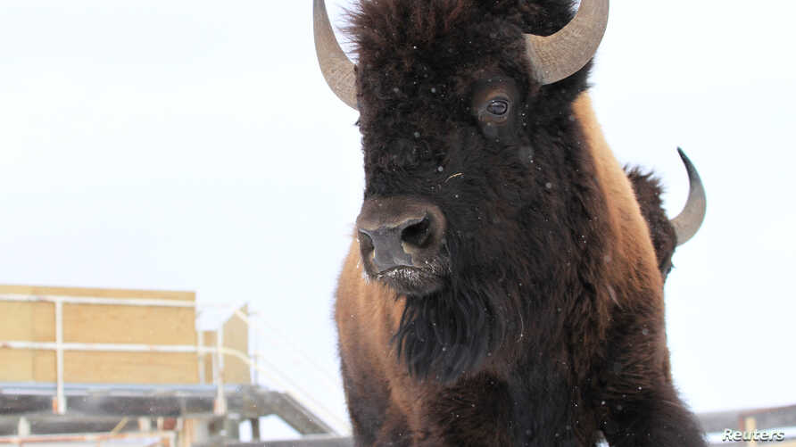 FILE - A wild bison, selected from Elk Island National Park's healthy conservation herd to be moved to the remote wilderness of Banff National Park in Alberta, Canada, is pictured in this Jan. 31, 2017, handout photo.
