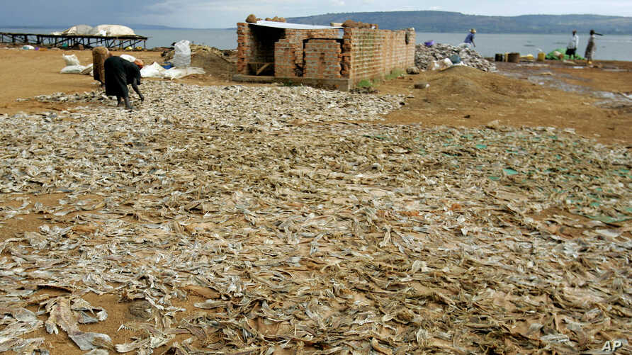 FILE -Fish waste products from the fish processing plants are dried in the sun in Masese, before being sold to the Congo for protein Masese, Uganda,  Nov. 1, 2006.