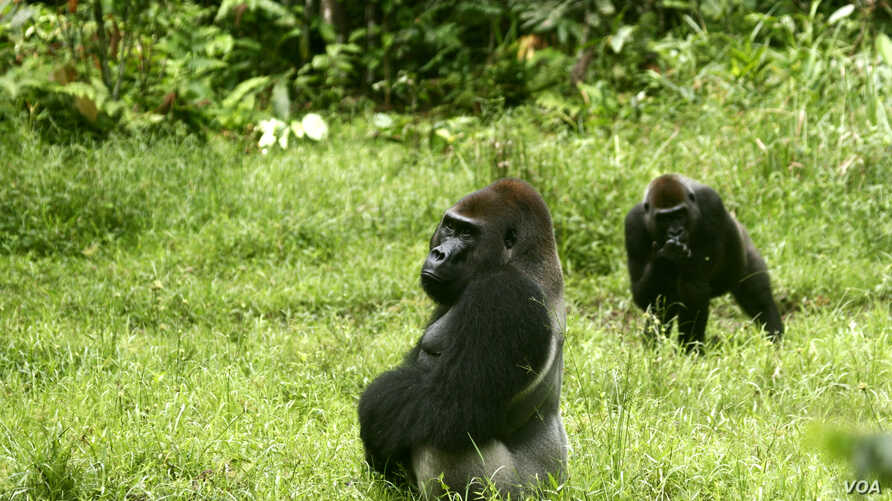 (Lowland gorillas (copyright 2012 Chris Whittier)
