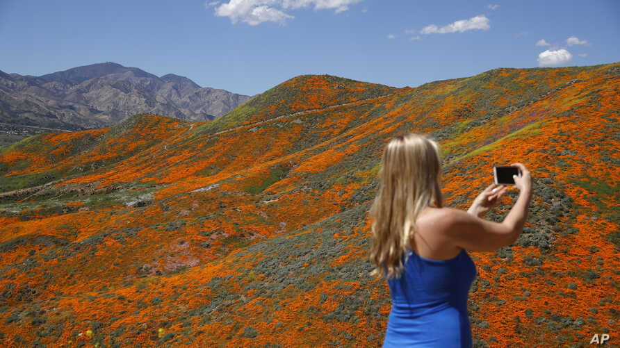Renee LeGrand, of Foothill Ranch, Calif., takes a picture among wildflowers in bloom, March 18, 2019, in Lake Elsinore, California.