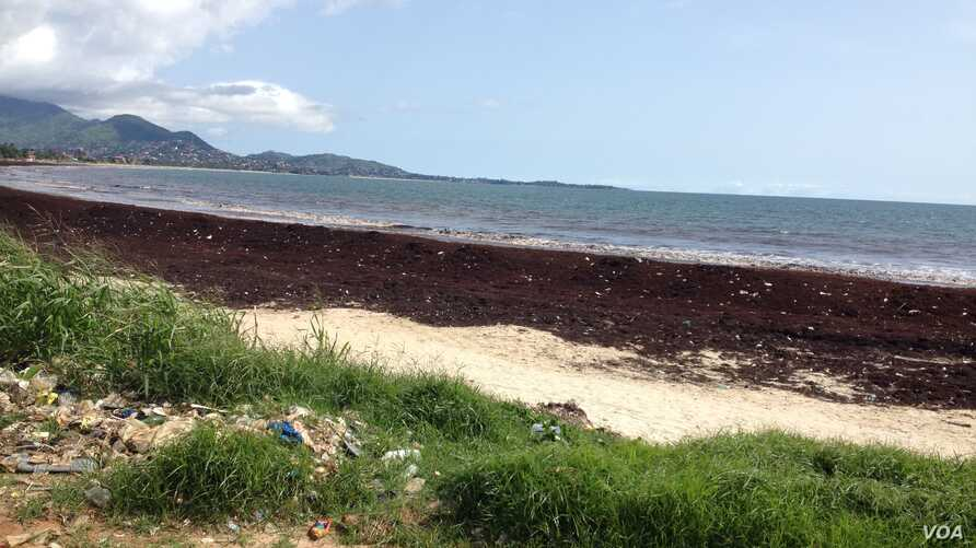 FILE - Sargassum seaweed  blankets Lumley beach, Freetown, Sierra  Leone, Oct. 1, 2015. (N.de Vries/VOA).