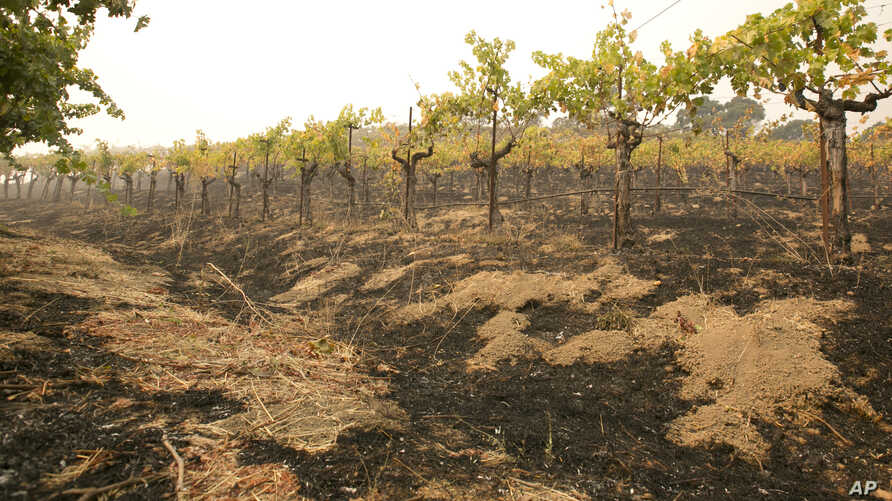 Grape vines sit among the scorched ground ot the Robert Sinskey Vineyard in Napa, Calif., Oct. 9, 2017.