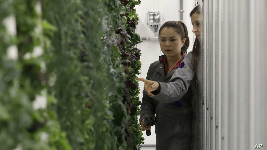 FILE - In this Jan. 18, 2018 photo, production manager Emy Kelty, left, and senior grower Molly Kreykes scan and monitor plants growing on towers in the grow room at the Plenty, Inc. office in South San Francisco, Calif.