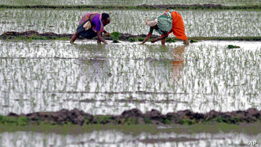 Farmers plant saplings in a rice field at Rajpur village in the western Indian state of Gujarat, July 10, 2011